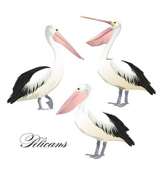 With graceful pelicans set vector