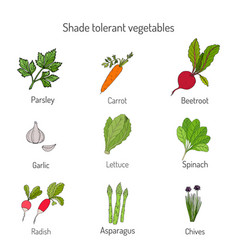 Shade tolerant vegetables vector