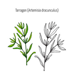 Tarragon aromatic kitchen herb vector