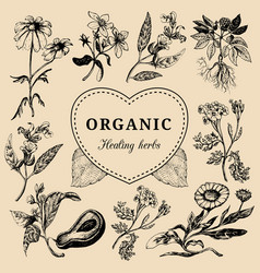 Hand drawn herbs officinalis medicinal vector