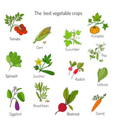 Best vegetables crops vector
