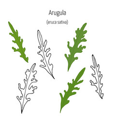 leaves of arugula vector image vector image