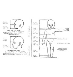 Proportions of a healthy childs body at birth and vector