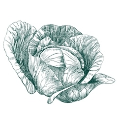 cabbage vegetable hand drawn llustration vector image