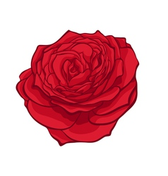 stylish red rose isolated on white vector image vector image