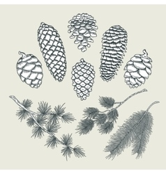 Set botanical elements - cones and branches of vector