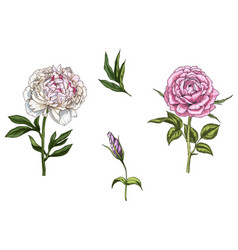 Set with rose and peony flower vector