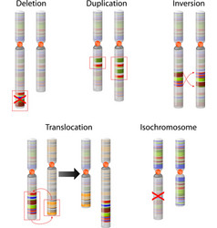 Chromosome mutation vector