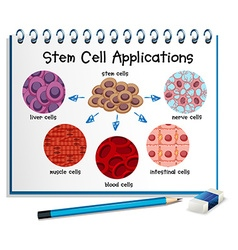 Diagram showing different stem cell applications vector image