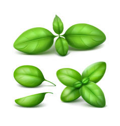 Set of green fresh basil leaves close up isolated vector