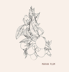 sweet marian plum thai fruit vector image vector image