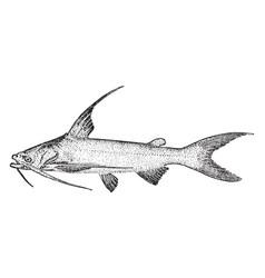 Gafftopsail catfish vintage vector