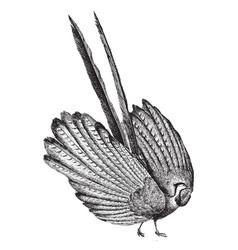 Argus pheasant vintage vector