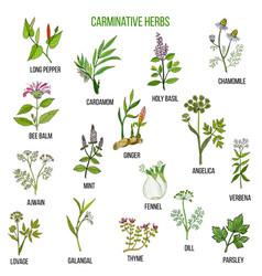 carminative herbs hand drawn set vector image vector image