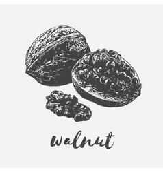 walnut Organic Food vector image