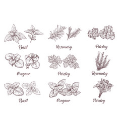 herbs and spices set engraving for vector image vector image