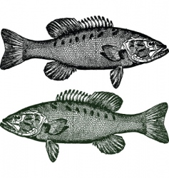 smallmouth bass fish vector image