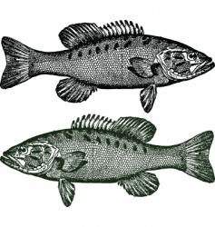 Smallmouth bass fish vector