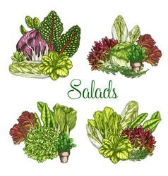 Farm salads or leafy lettuce vegetables vector