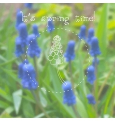 Grape hyacinth muscari flowers at spring time vector