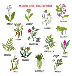 best medicinal herbs for osteoarthritis vector image vector image