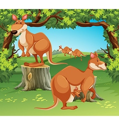 Kangaroos in the field vector image
