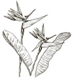 Hand drawn birds of paradise sketch vector