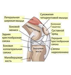 Anatomy structure knee joint vector
