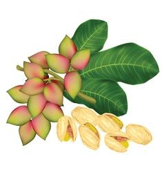 pistachio twig vector image