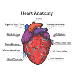 heart anatomy colored sketch vector image vector image