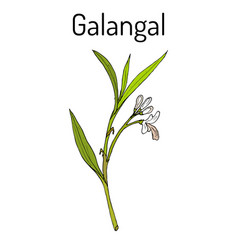 Galangal alpinia officinarum medicinal plant vector