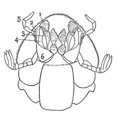 Ventral view of dung beetle vintage vector