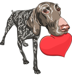 Smiling dog kurzhaar holding a red heart vector