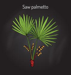 Saw palmetto serenoa repens medicinal tree vector