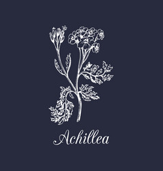 Yarrow hand drawn achillea vector