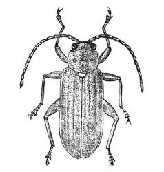 Dorsal view of leaf beetle vintage vector