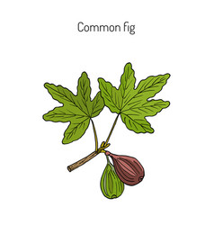 Common fig vector