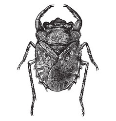 Dorsal view of toad bug vintage vector
