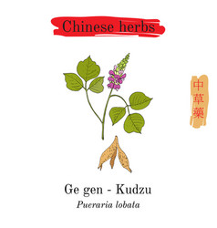 medicinal herbs of china kudzu pueraria montana vector image vector image