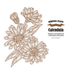Calendula plant flowers ans leaves vector