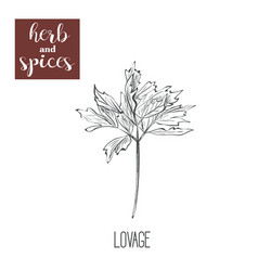 Lovage hand drawing herbs and spices vector