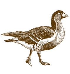 Engraving of red-breasted goose vector