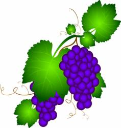 Grapevine illustration vector