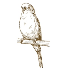 Engraving budgerigar vector