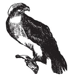 Osprey vintage vector