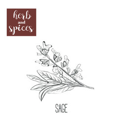 Sage hand drawing herbs and spices vector