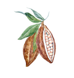 watercolor cacao fruits vector image