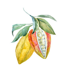 Watercolor cacao fruits vector
