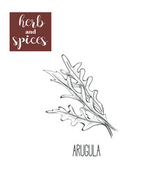 arugula hand drawing herbs and spices vector image vector image