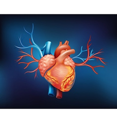 A human heart vector